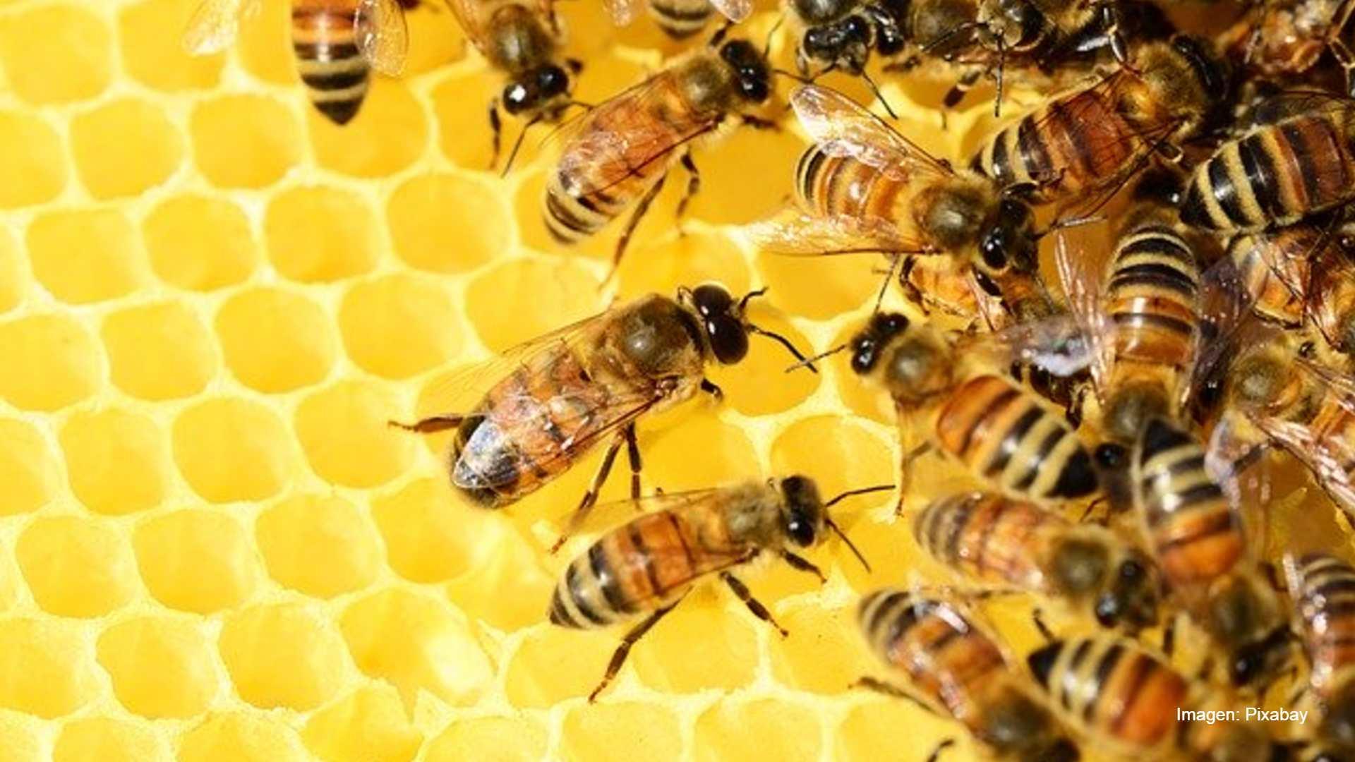 VIDEO: Así luchan las abejas contra 'avispón asesino gigante'