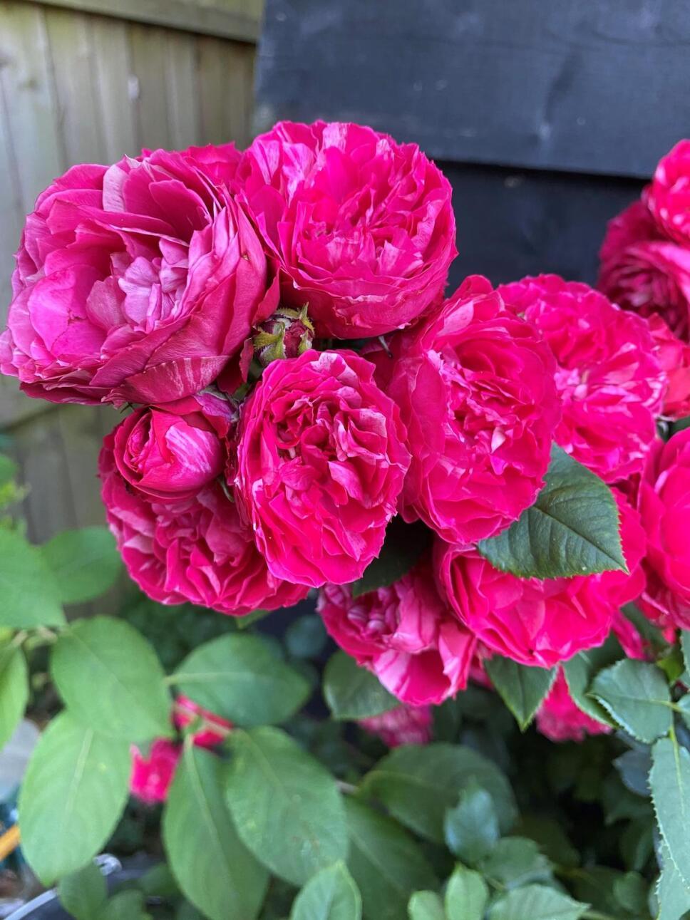 ramo-rosas-duque-de-edimurgo-felipe.jpeg