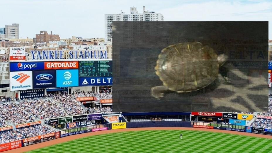 Yankees de Nueva York tienen tortuga Bronxie