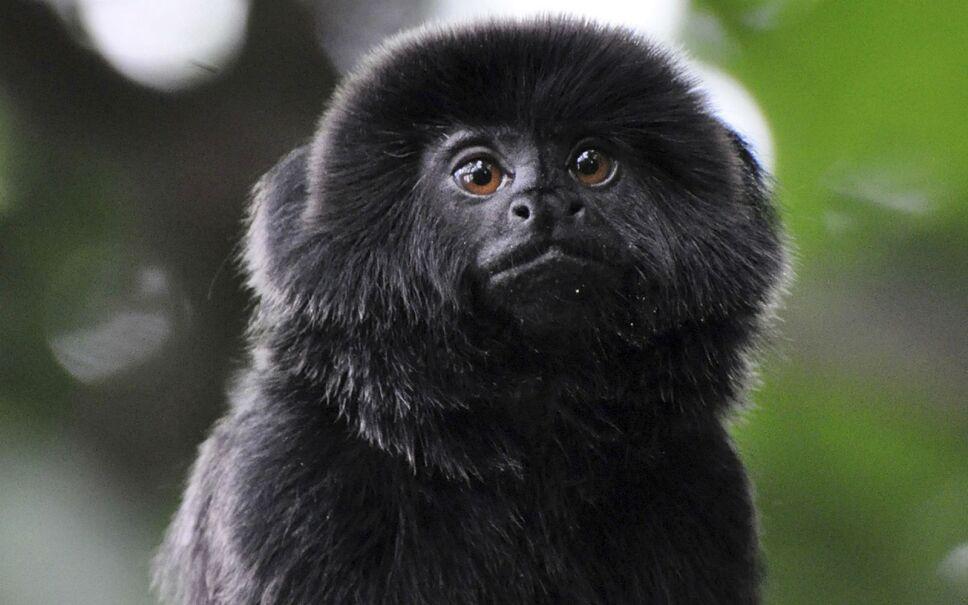 kali mono robado zoologico