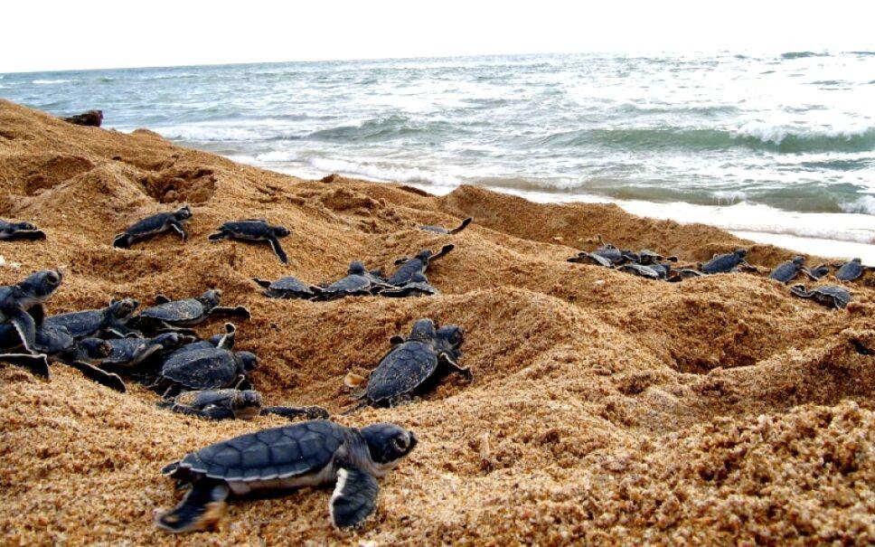 Tecolutla Veracruz podrás liberar tortugas Foto Especial