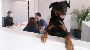 """Drake, un perro de raza Beauceron de dos años y medio, durante su proceso de adopción en """"Sans Collier"""", Perwez"""