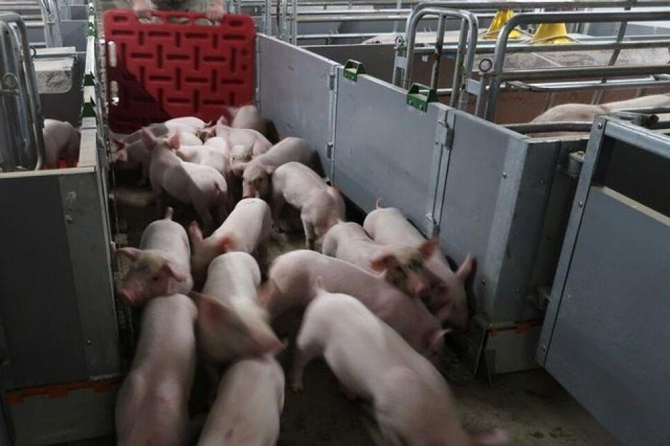 Epidemia cerdos China gripe porcina africana