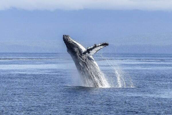 humpback-whale-436120_1920.jpg