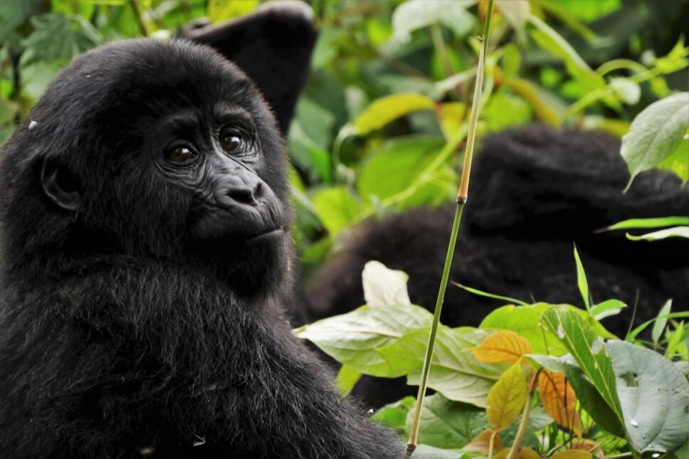 cria de gorila