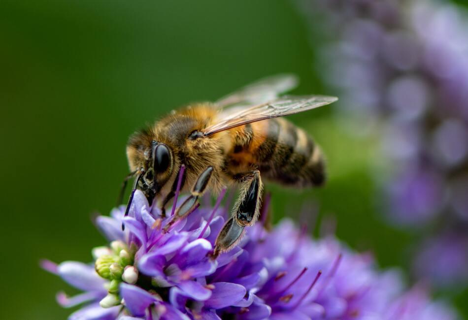 Este 20 de mayo es el Día Mundial de las Abejas, fecha que conmemora la importancia de este insecto para el planeta.