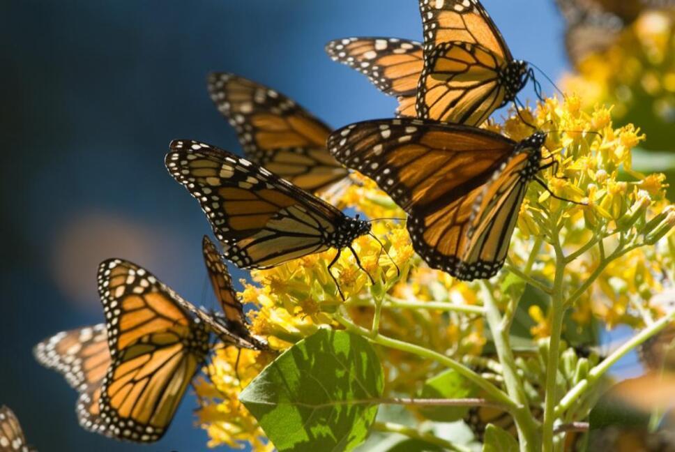 Mariposa monarca.jpeg