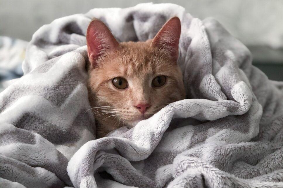 Un estudio demuestra que puedes contagiar a tu gatito de covid-19 si duermes con él