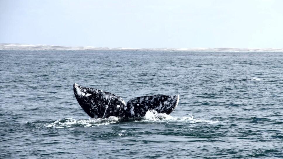 Avistamiento de ballenas en ocho estados de la República