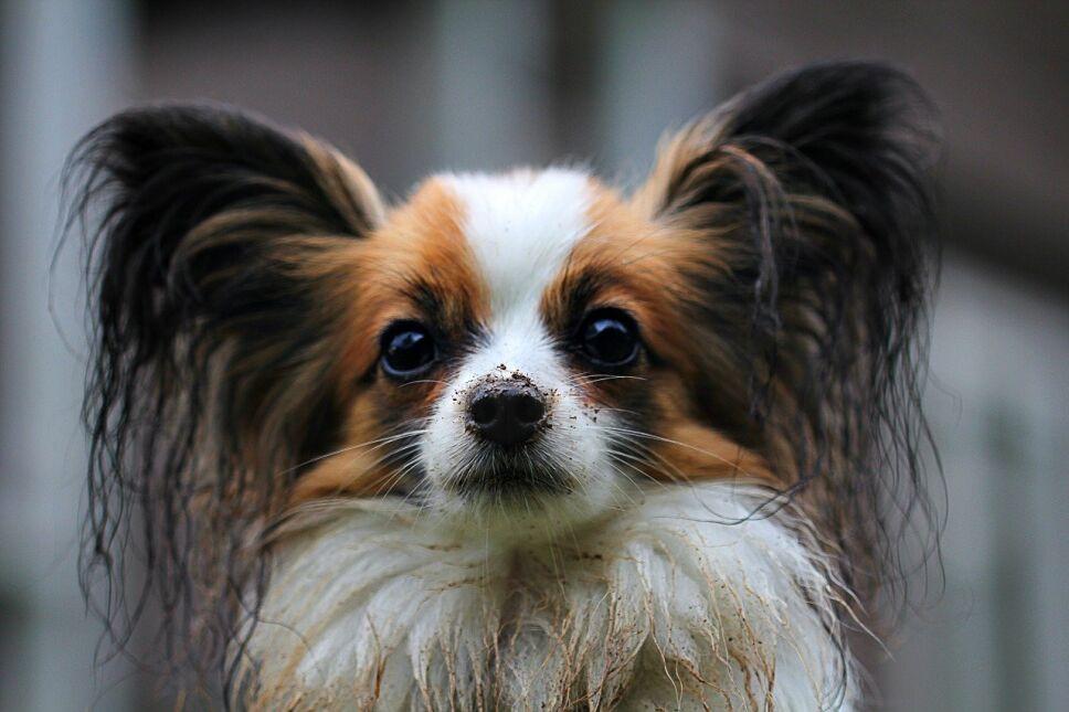perros, razas, inteligentes, cuáles son Pixabay b.jpg