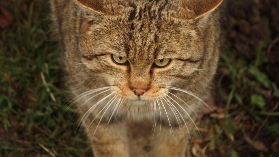 Especie, gato, mito b.jpg