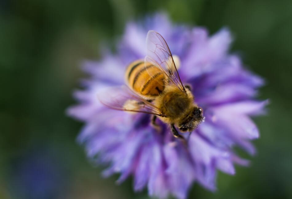 Margaritas, sus flores favoritas. Aunque suele recolectar polen de todas las flores, sus favoritas son las flores de lavanda y margaritas.