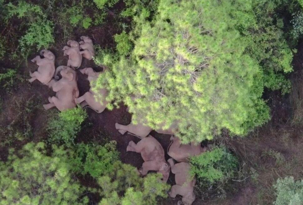 Drones muestran camino de elefantes salvajes en China.