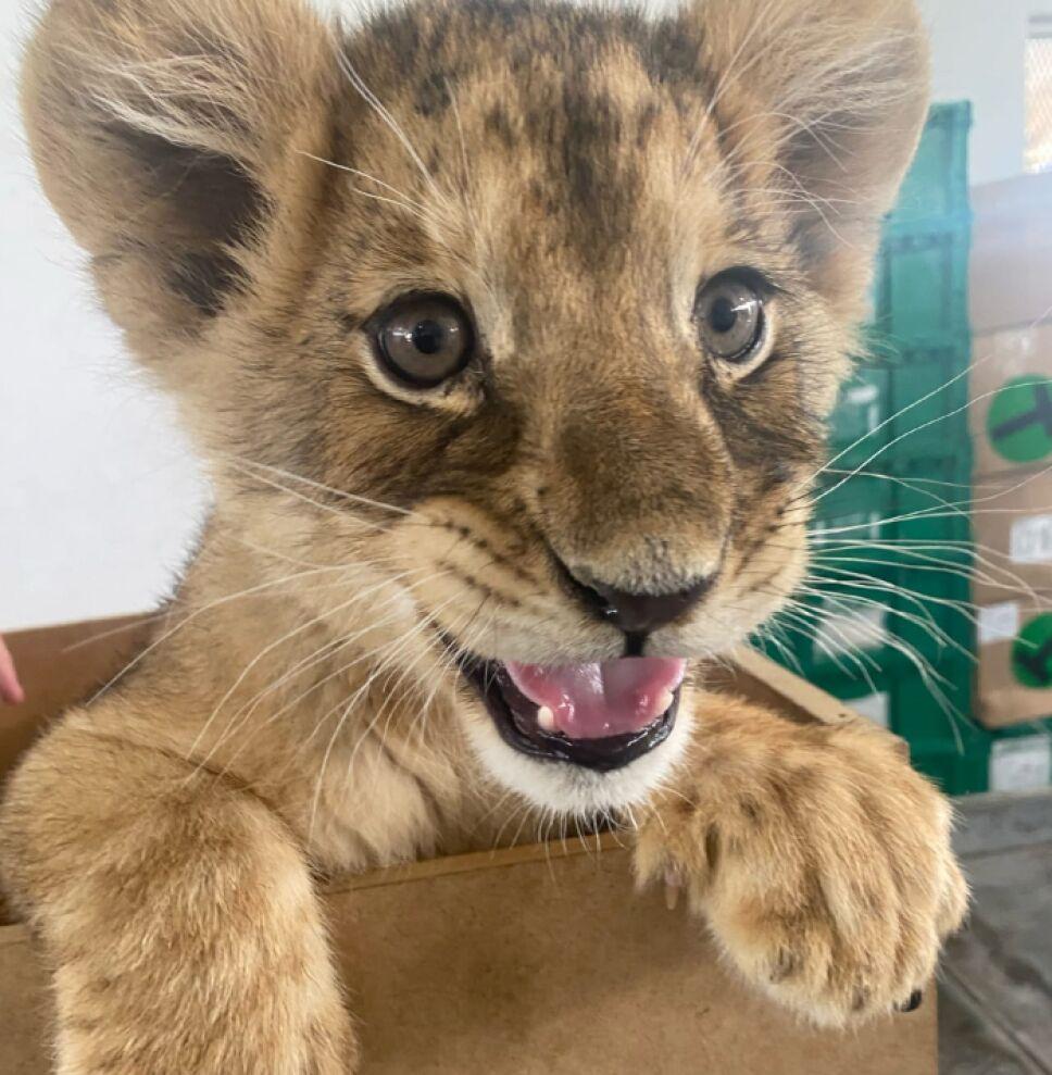 leona africana