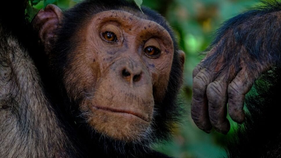 Chimpancés, gorilas, ataque.jpg