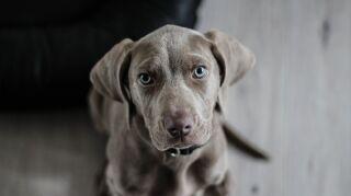 ¿Qué es y qué síntomas presenta la enfermedad del gusano del corazón en perros?