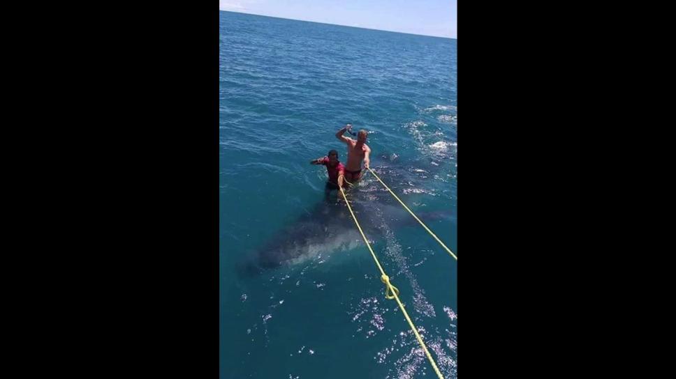 Hombres maltratan a tiburón ballena, especie protegida en México