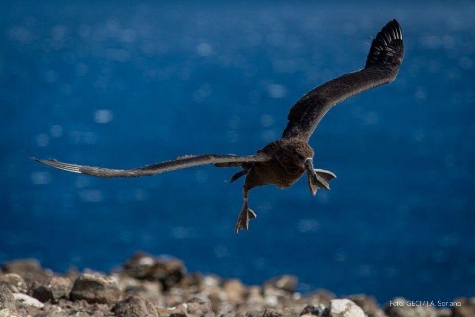Albatros en vuelo.jpeg