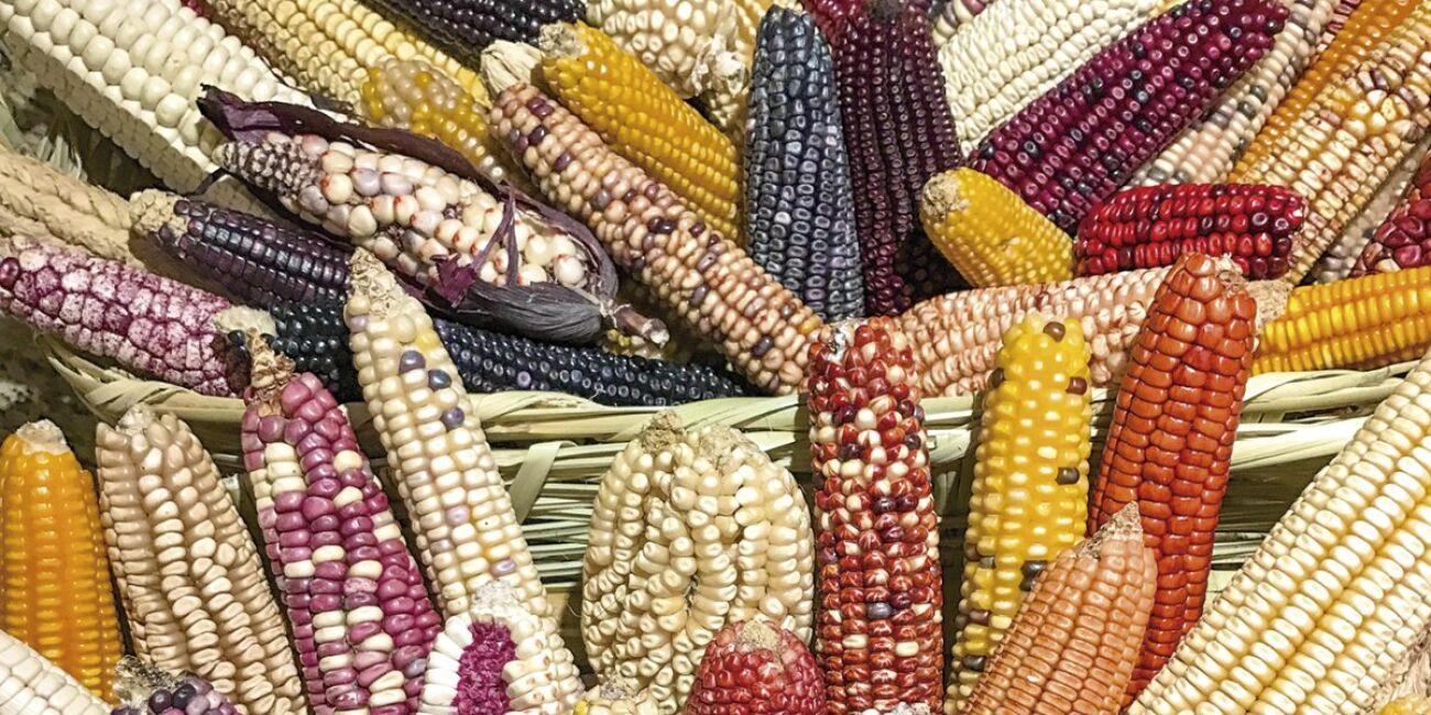 La urgencia de revalorar el maíz