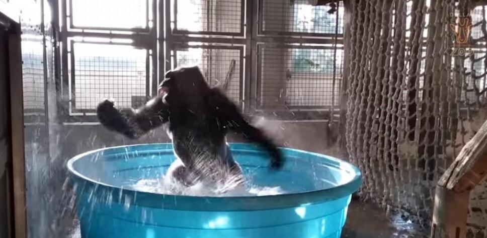 gorila, Tiktok, break dance.jpeg