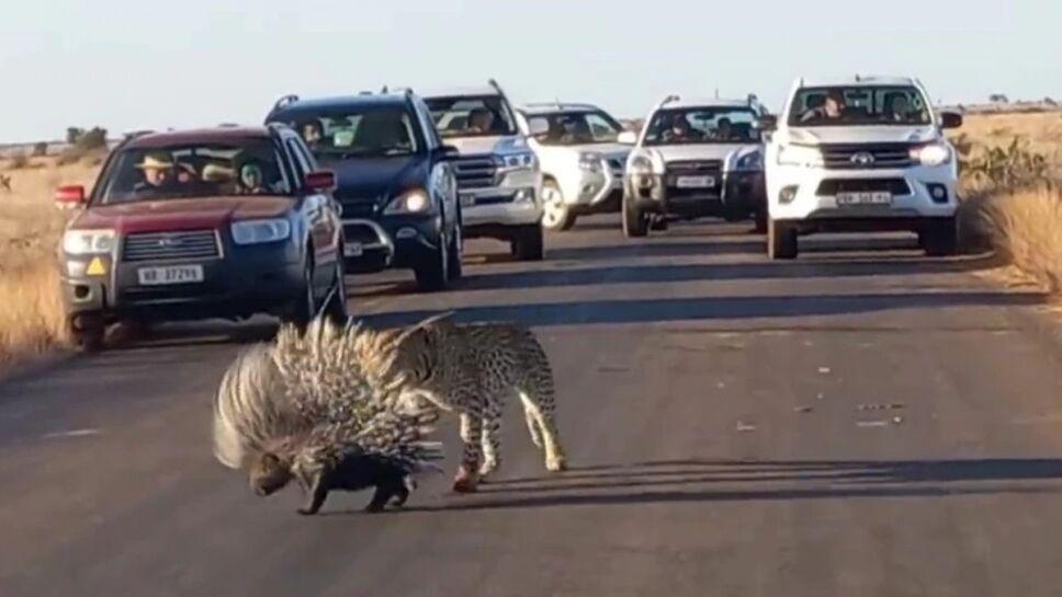 Leopardo, puercoespín, duelo, carretera a.jpg