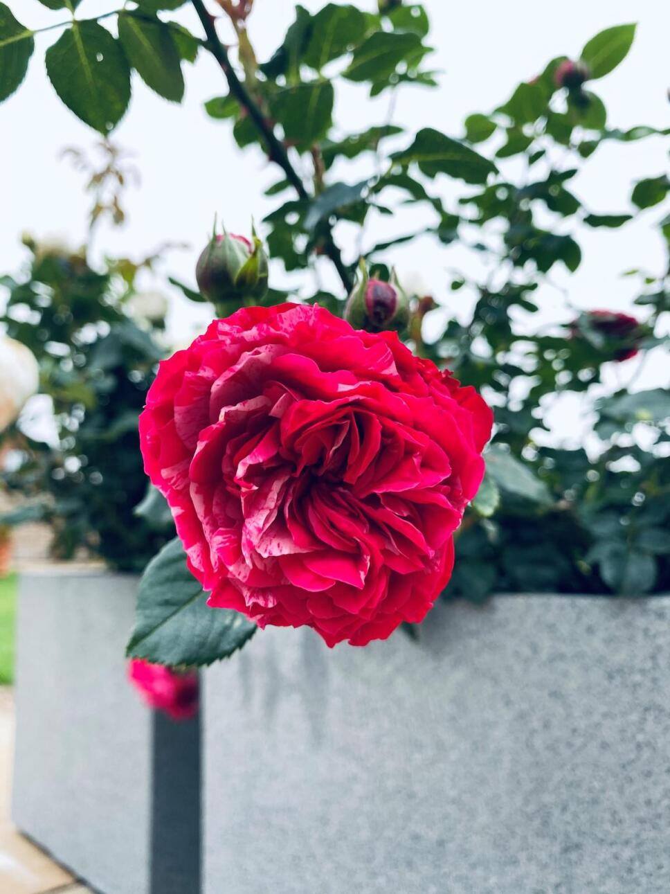 rosa-duque-de-edimburgo.jpeg