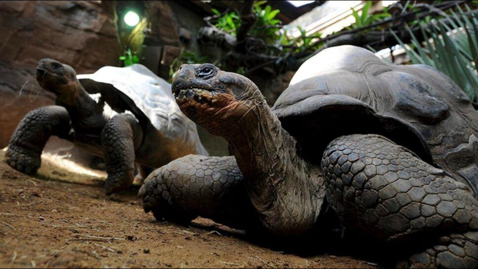 tortuga galapagos