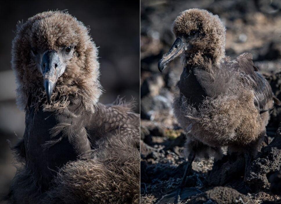 Polluelos de albatros patas negras.jpeg