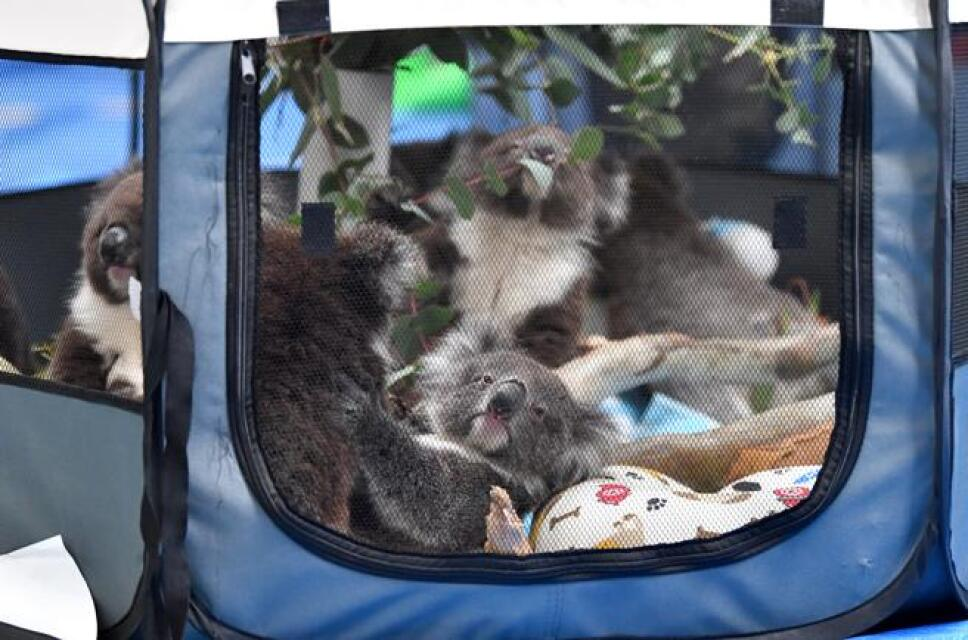 koalas-rescatados-(1).jpg