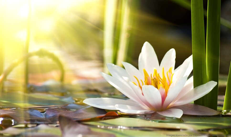 ddc flor de loto