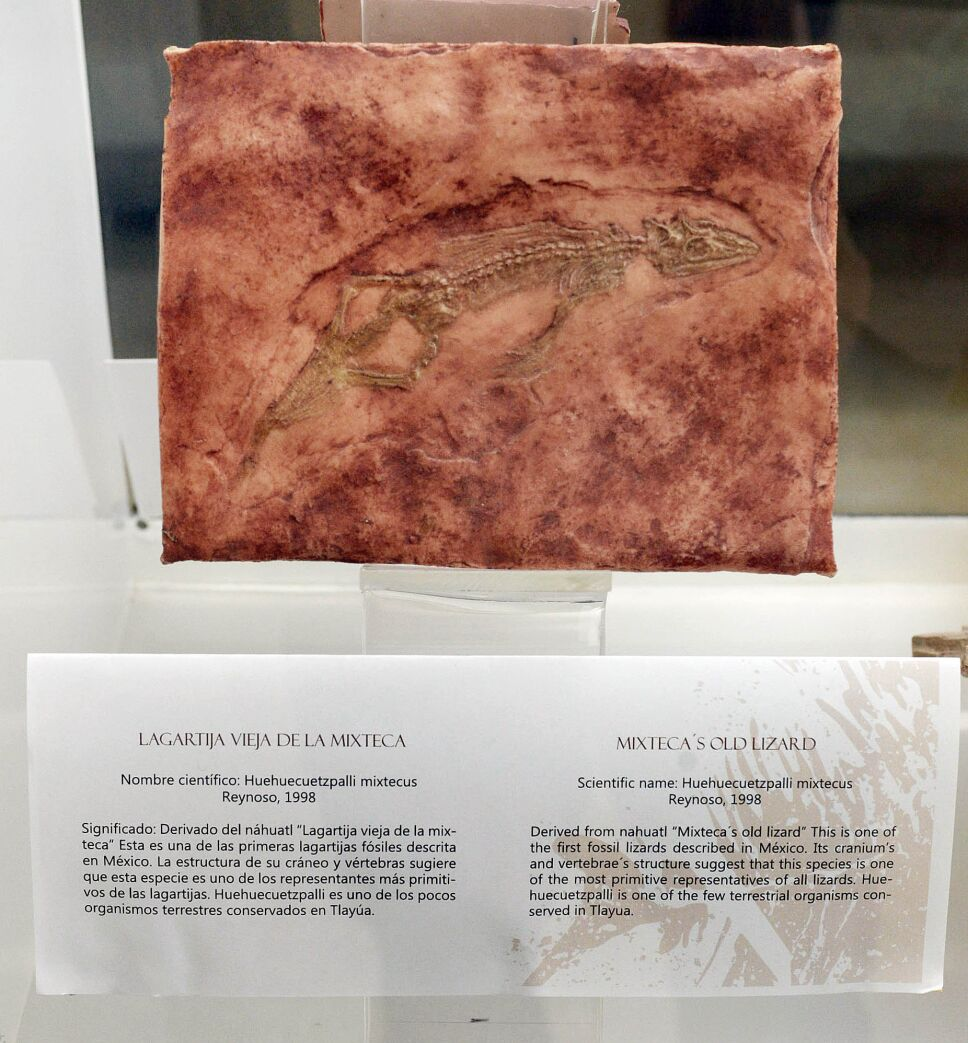 Museo Universitario exhibe fósiles de hace 100 millones de años