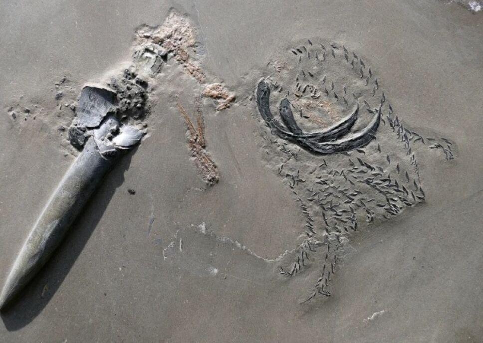 Fósil, calamar, tiburón.jpg