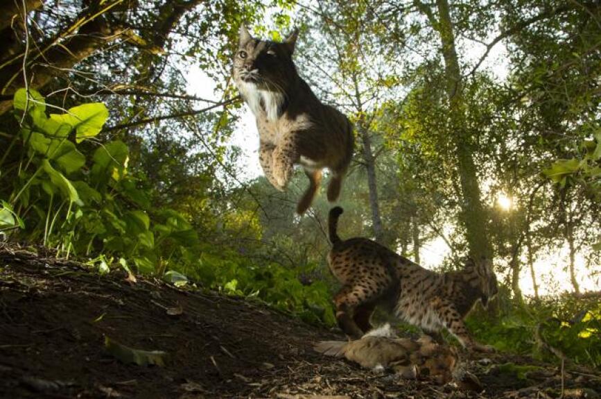 El lince ibérico es el felino más amenazado del planeta. Hay casi 700 ejemplares en libertad aunque aún queda mucho por hacer. Los esfuerzos de conservación están dando resultado: En 2002 quedaban menos de 100 ejemplares, ahora ya son más de 800 viviendo en libertad en la Península Ibérica, informa WWF.