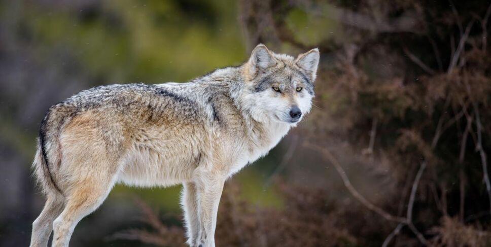 Lobo Mexicano En Grave Peligro De Extinción