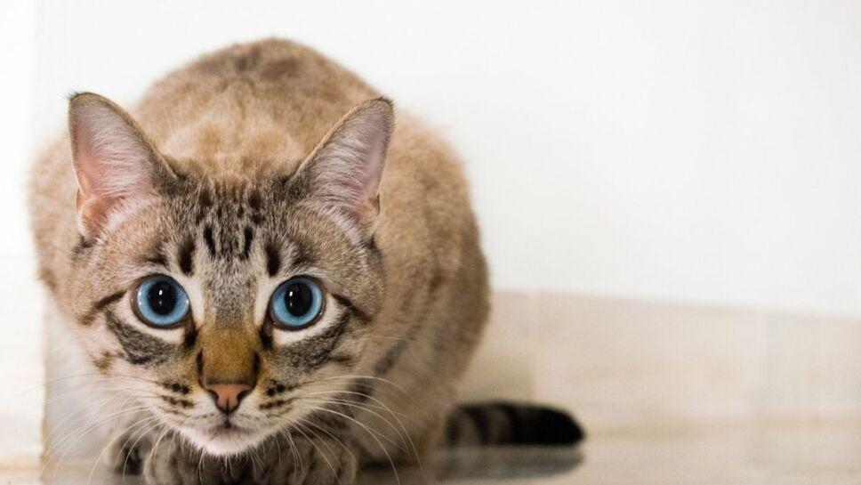 gatos atigrados, rayas b.jpg