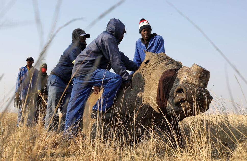 Trabajadores sostienen un rinoceronte descornado en Buffalo Dream Ranch, el mayor santuario privado de rinocerontes del continente, en Klerksdorp, provincia del noroeste de Sudáfrica.