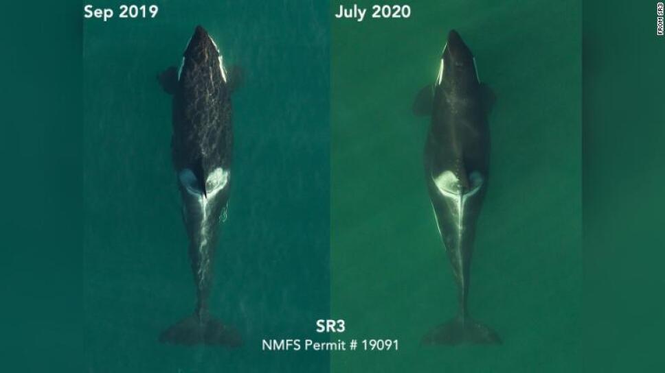 """""""L72"""": orca preñada, en septiembre de 2019 y ahora en julio de 2020."""