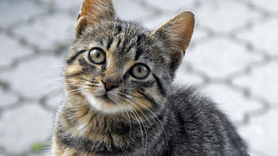 gatos atigrados, rayas c.jpg