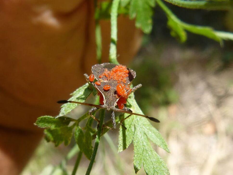 hongo zombie, escarabajo.jpg
