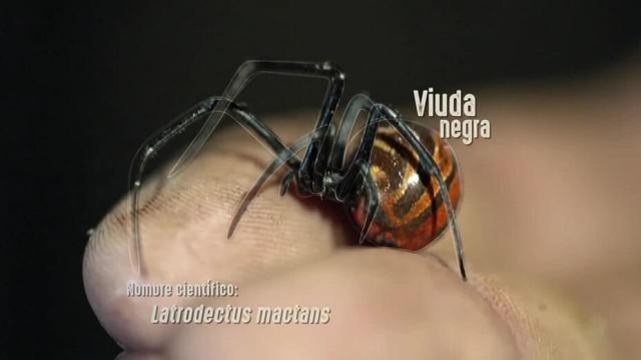 la-viuda-negra-es-venenosa-y-tiene-una-neuro-toxina-muy-peligrosa.