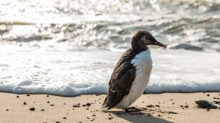 bird-lomvie-guillemot-nature.jpg