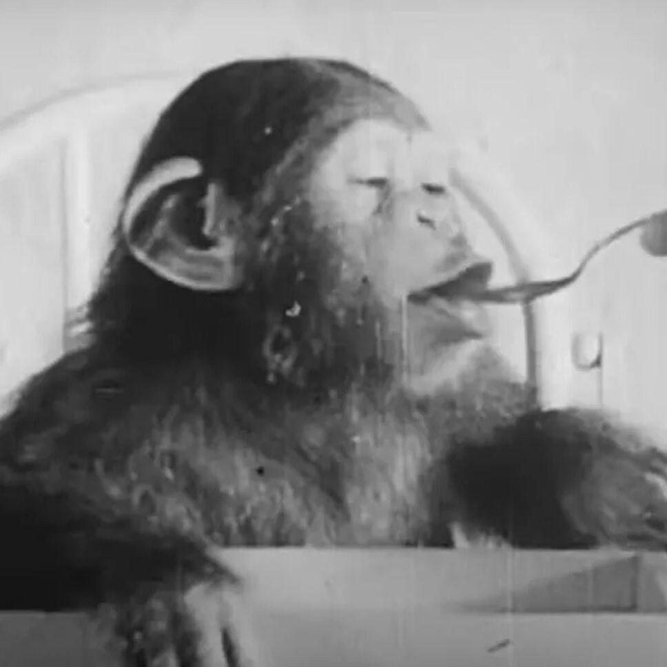 Chimpancé, bebé, psicólogos b.jpg
