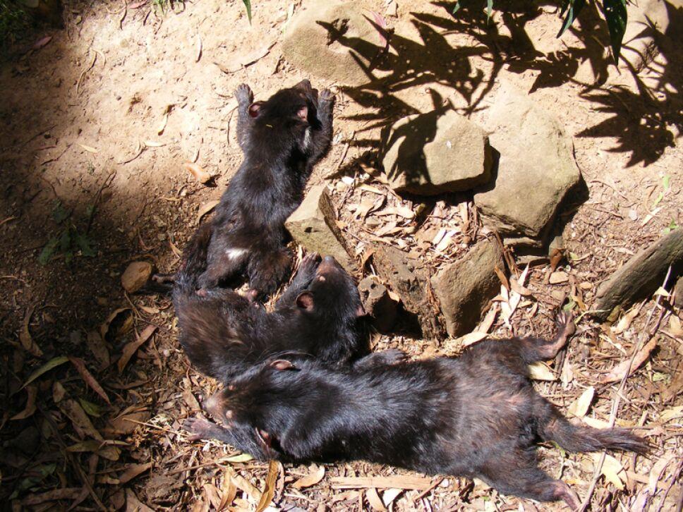 demonios de tasmania, Australia.jpg
