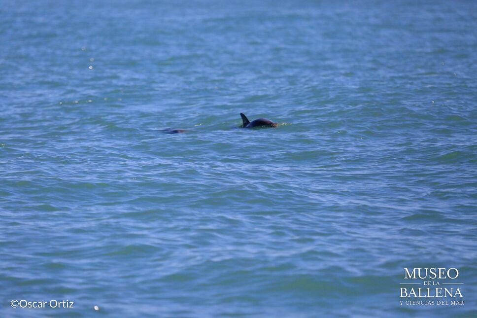 Descubren ejemplares de vaquita marina en estado reproductivo en Golfo de California