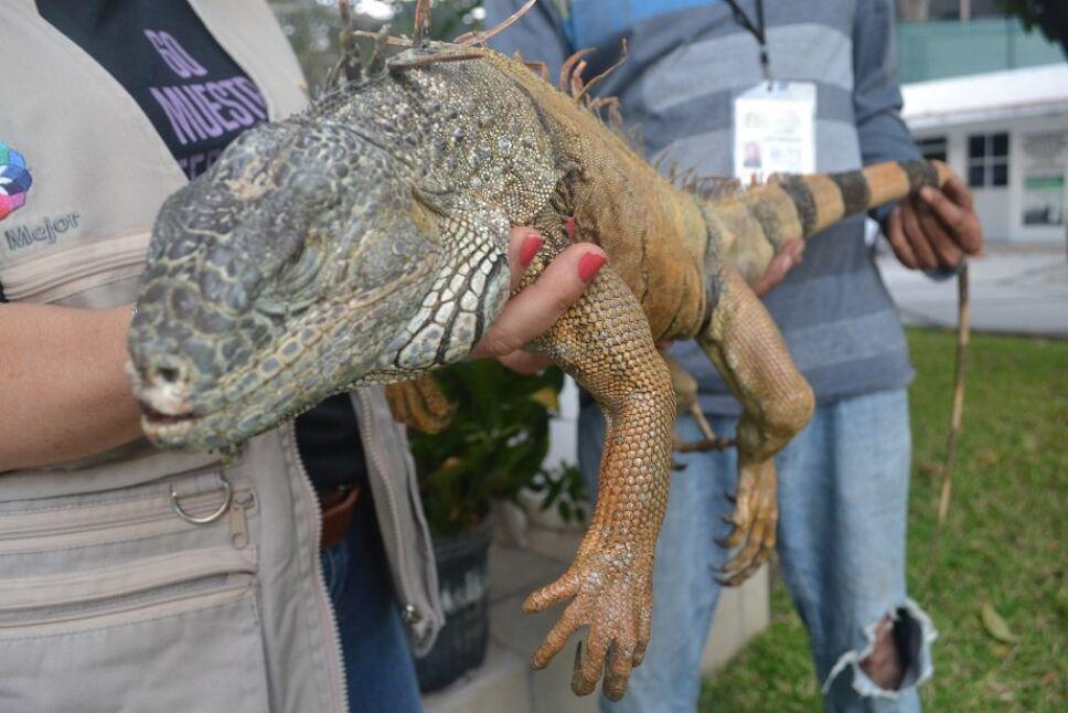 Libera Profepa en su hábitat a ejemplar de iguana verde, en Colima