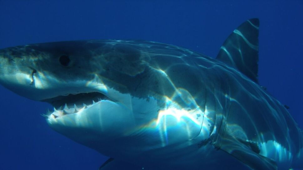 Tiburones, evolución2.jpg