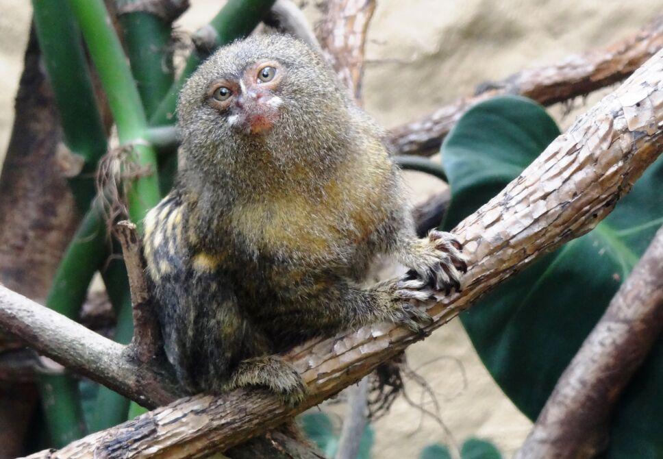 Primate más pequeño, Ecuador 2.jpg