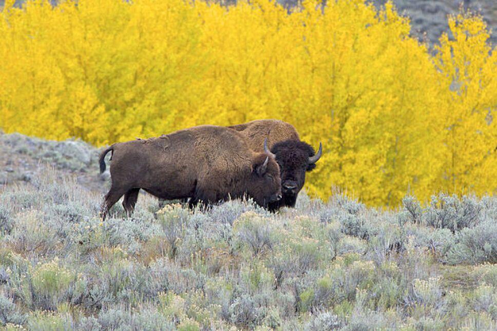 Después de un siglo, Coahuila vuelve a tener bisontes americanos