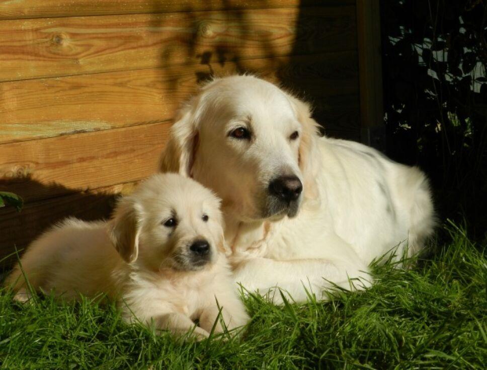 perros, razas, inteligentes, cuáles son d Wikimedia.jpg