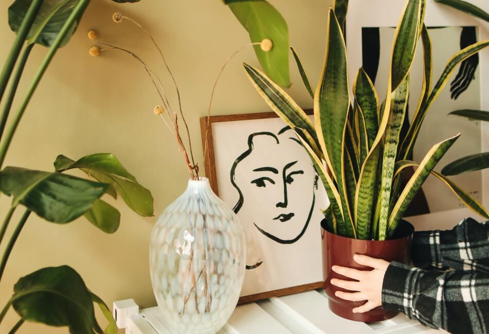 Lengua de tigre. Esta planta es muy decorativa y es perfecta para interiores ya que ayuda a eliminar sustancias tóxicas como benceno, formaldehído y xileno.